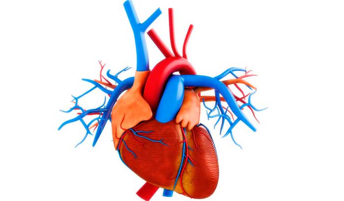 сосуды сердца