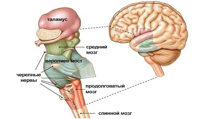 стволовой мозг